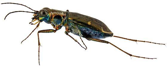Brasiella viridisticta? - Brasiella viridisticta