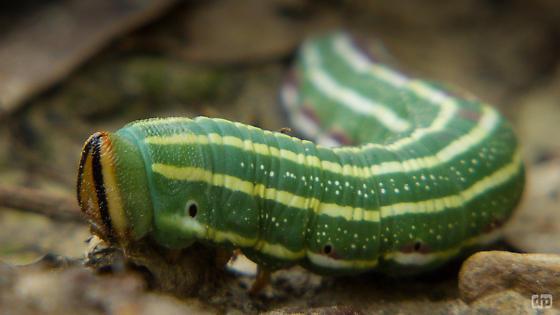 Caterpillar - Lapara coniferarum