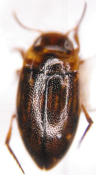Liodessus noviaffinis (Miller) - Liodessus noviaffinis
