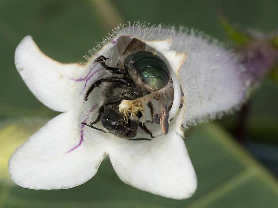 Osmia mason bee on penstemon - Osmia - female