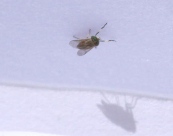 Unknown Fly - female