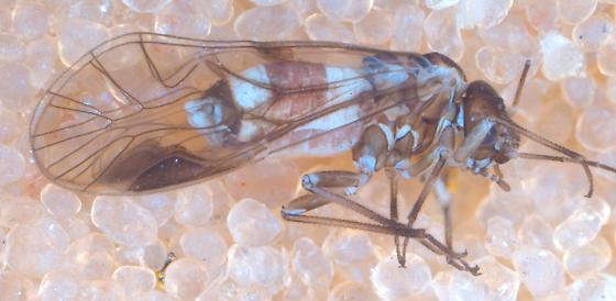 Elipsocus female? - Elipsocus hyalinus - female