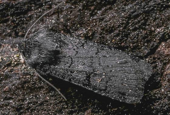 Euxoa velleripennis