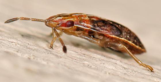 Belonochilus numenius nymph? - Belonochilus numenius