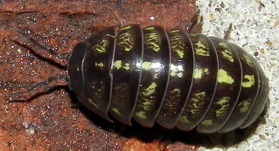 Armadillidium vulgare
