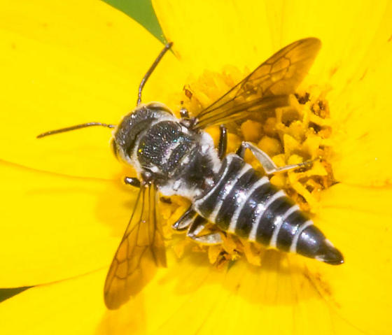 Tapered-bodied bee - Coelioxys