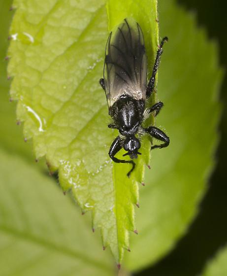 Fly - Bibio albipennis