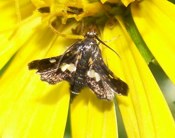 Spotted Thyris - Hodges#6076 - Thyris maculata