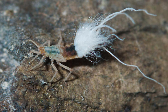 Unknown (Scale?) Bug from CT - Grylloprociphilus imbricator