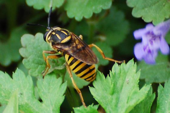 Wasp, Yellow Jacket, Hornet? - Sphecomyia vittata