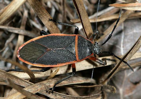 Largus Bug - Largus succinctus