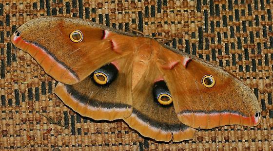 Moth - Antheraea polyphemus - male