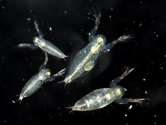 Water Flea - Sida crystallina - female