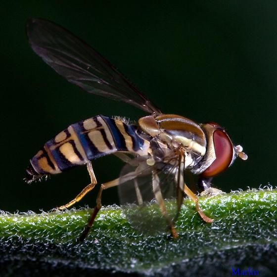 Syrphidae - Toxomerus politus - female
