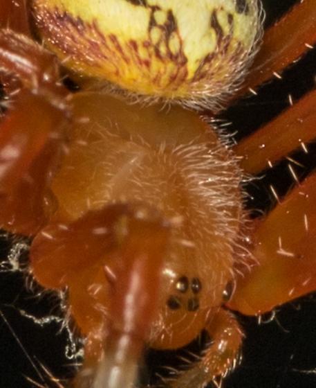 Orange Orb Weaver - Araneus marmoreus