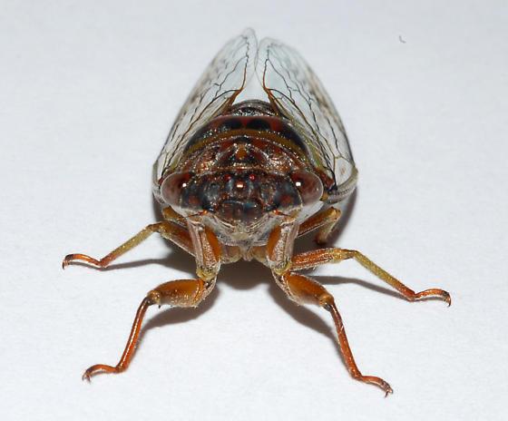 Unknown cicada - Diceroprocta olympusa