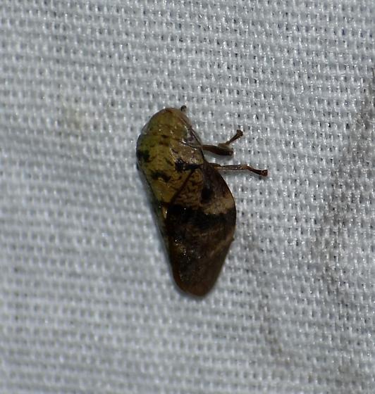 Cephisus laticeps
