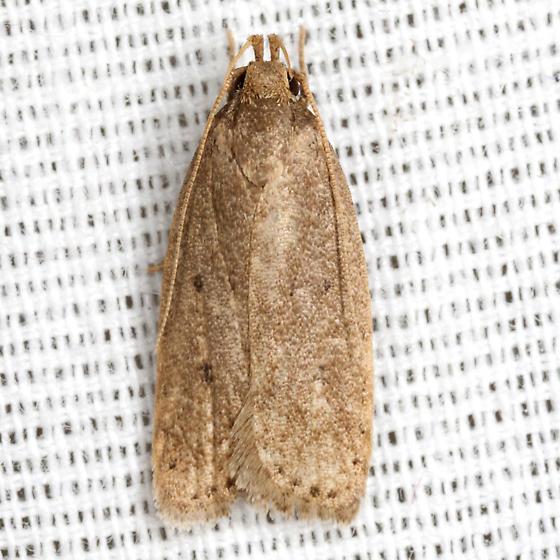 Kyoto Moth - Hodges #1010.1 - Autosticha kyotensis