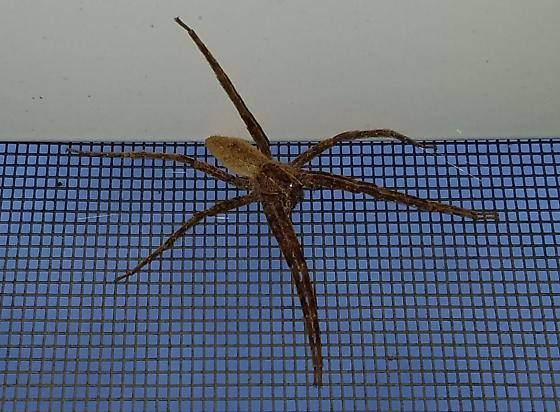 Large spider resting up high on screened porch - Pisaurina mira
