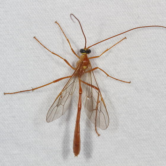 Ichneumonoidea  - Enicospilus flavostigma - female