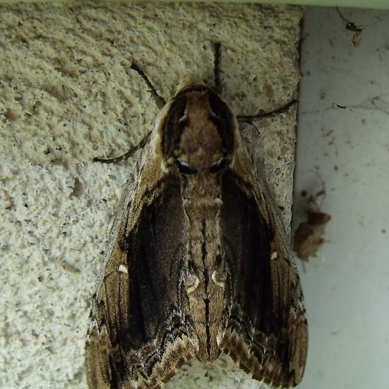 The Monstrous Moth - Ceratomia amyntor