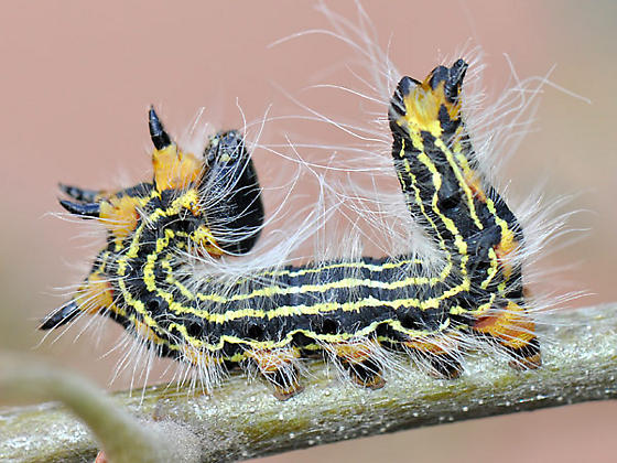 Black Caterpillar Yellow Stripes - Datana