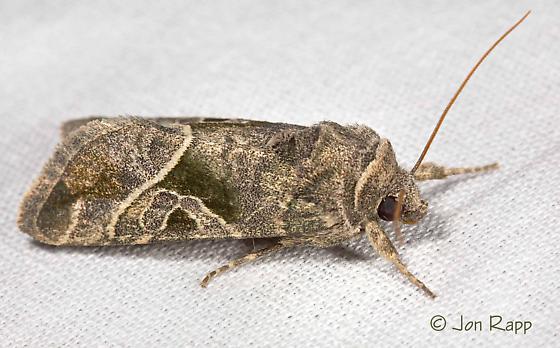 Moth - Hexorthodes accurata