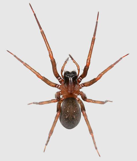 Spider BG529 - Metaltella simoni - female