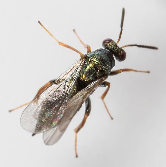 Wasp - Ormyrus