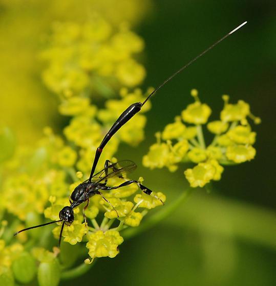 black wasp - Gasteruption - female