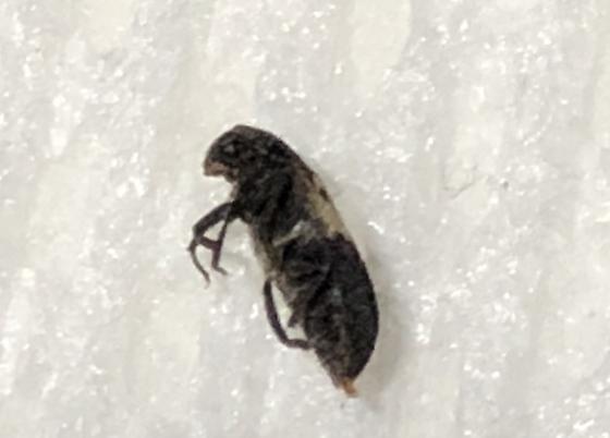 Small black bug