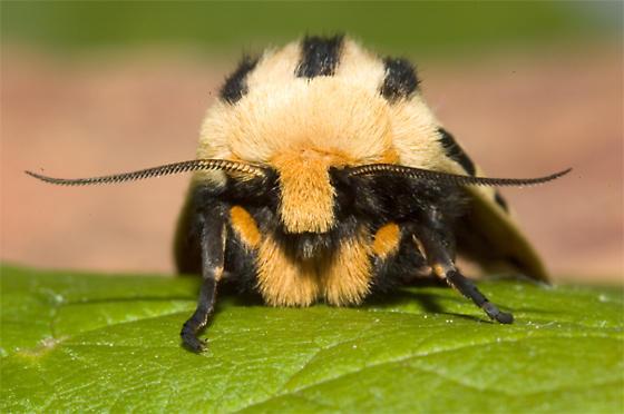 Moth Found on Lettuce - Notarctia proxima