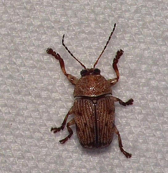 Unknown Beetle - Cryptocephalus falli