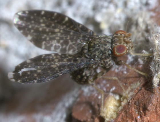 Gray picture-winged fly? - Trypetisoma sticticum