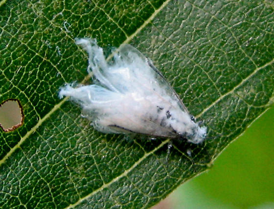 White fuzzy insect