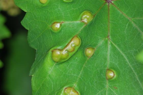 Gall on Grape Leaves - Vitisiella