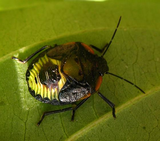 Hemiptera nymph - Chinavia hilaris (green stink bug) - Chinavia hilaris