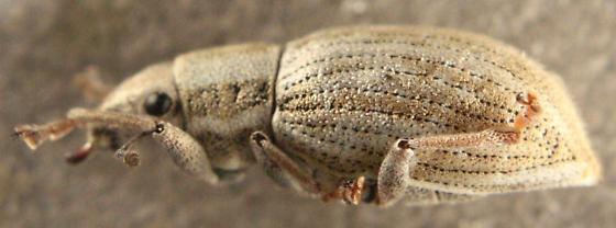Naupactus pallidus