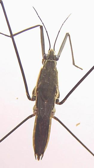 Water Strider - Aquarius conformis - female