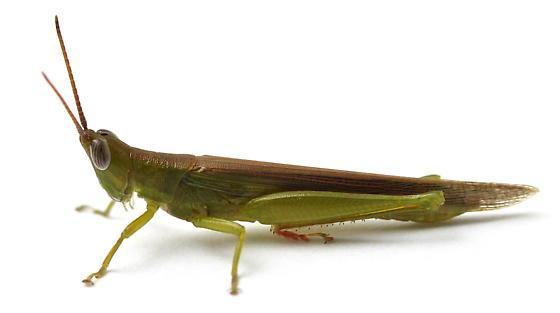 Stenacris vitreipennis - male