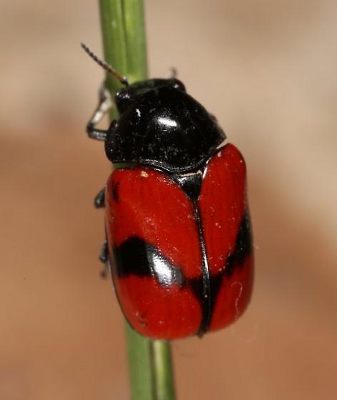 red chrysomelid - Urodera dilaticollis