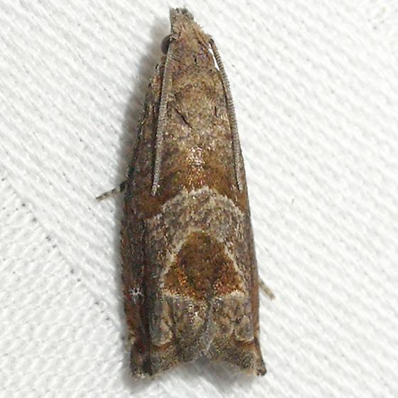 moth - Sonia