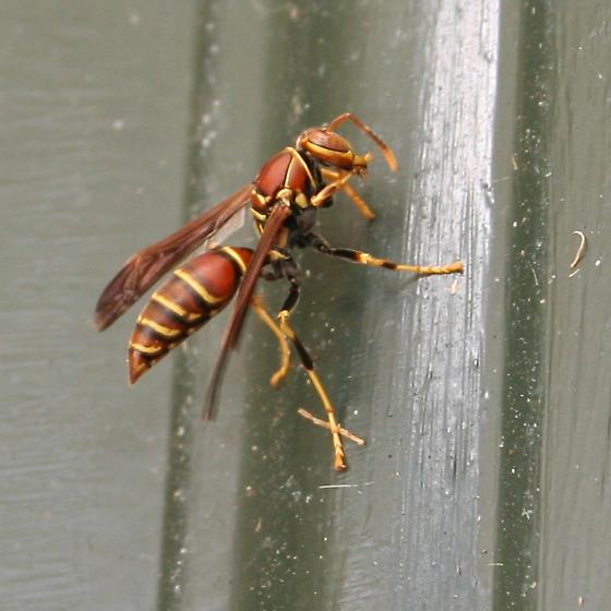 Wasp 02 - Polistes exclamans