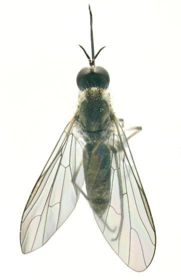 Bombyiidae, dorsal - Geron