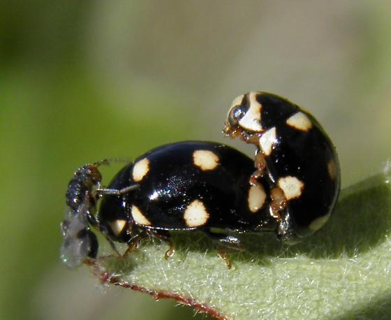 Another Brachiacantha sp. on the same oak branch - Brachiacantha uteella