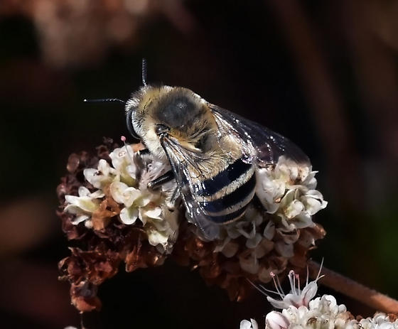 Bee sp - Anthophora urbana