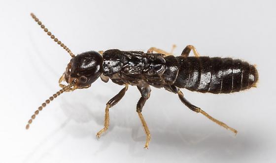 Rove Beetle ?