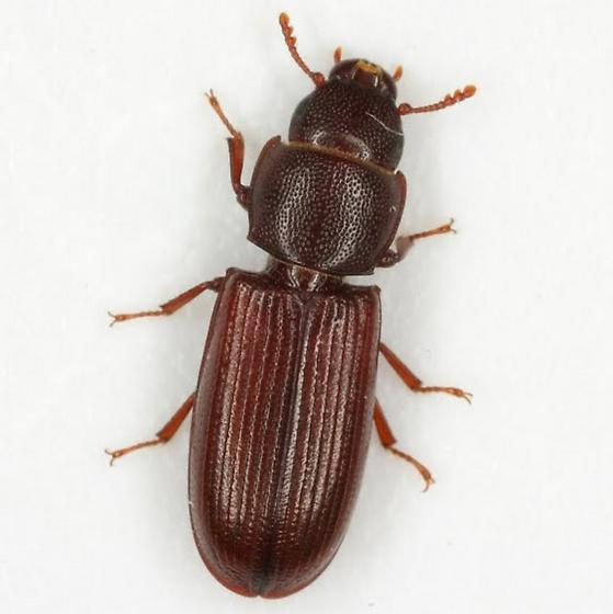 Tenebroides corticalis (Melsheimer) - Tenebroides corticalis