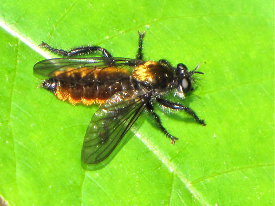 Robber fly? - Laphria