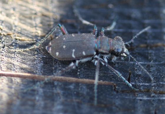 Tiger Beetle,  zoo-3464 - Cicindela duodecimguttata